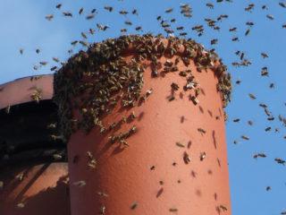 Bees in chimneys
